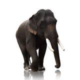 Mannelijke Aziatische die olifanten op witte achtergrond worden geïsoleerd Stock Foto