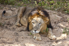 Mannelijke Aziatische leeuw. Royalty-vrije Stock Fotografie