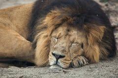 Mannelijke Aziatische leeuw (Panthera leopersica) Stock Foto