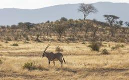 Mannelijke Beisa Oryx die zich in noordelijk Keniaans landschap met lange gras, struiken en acaiabomen bevinden op achtergrond stock foto
