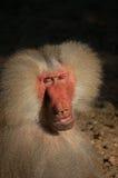 Mannelijke bijna menselijke aap Royalty-vrije Stock Fotografie