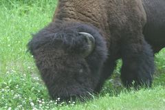 Mannelijke bizon Stock Afbeeldingen