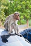 Mannelijke Bonnet Macaque op een Dak van de Auto royalty-vrije stock afbeelding