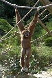 Mannelijke bruine gibbon Royalty-vrije Stock Foto's