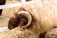 Mannelijke bruine schapen Stock Afbeeldingen