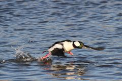 Mannelijke Bufflehead Duck Running voor Start royalty-vrije stock foto