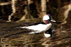 Mannelijke Bufflehead Duck Swimming royalty-vrije stock afbeeldingen