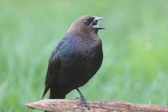 Mannelijke Cowbird stock foto's