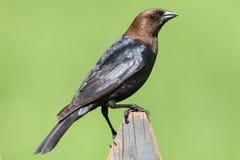Mannelijke Cowbird op een Toppositie stock fotografie