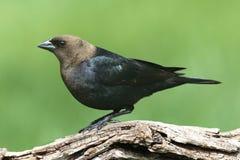Mannelijke Cowbird op een Toppositie stock foto's