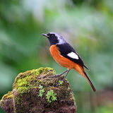 Mannelijke Daurian Redstart Stock Afbeelding