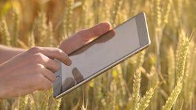 Mannelijke de tabletcomputer van de handaanraking in tarweoren Landbouwtechnologie stock footage
