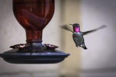Mannelijke die Anna ` s Kolibrie bij een Voeder wordt gefotografeerd Royalty-vrije Stock Foto's