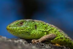 Mannelijke die hagedis in een bronst op een boom met mos en korstmos wordt behandeld Reptiel geschoten close-up Alerte groene hag Royalty-vrije Stock Foto