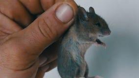 Mannelijke die het plattelandshuisjemuis van de handholding in de huid wordt gevangen Grijs gevangen knaagdier stock footage