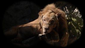 Mannelijke die leeuw door verrekijkers wordt gezien Het letten op Dieren bij het Wildsafari stock video