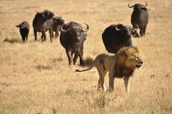 Mannelijke die leeuw door waterbuffels wordt achtervolgd Stock Foto's