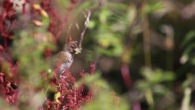 Mannelijke die rietbunting, Emberiza-schoeniclus, met voer of insecten in bek op boom en installaties op een winderige zonnige da stock videobeelden
