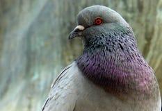 Mannelijke duif Royalty-vrije Stock Foto