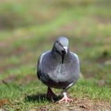 Mannelijke duif die in het park lopen stock afbeeldingen