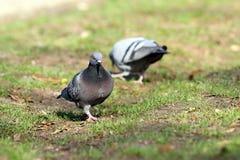 Mannelijke duif die partner in het park zoeken royalty-vrije stock fotografie