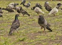 Mannelijke duif en wijfje die met troepen van duif op de achtergrond tonen Stock Afbeelding