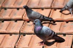 Mannelijke duif op de daktegels royalty-vrije stock foto