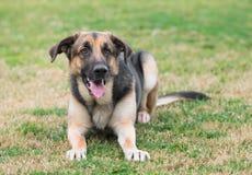 Mannelijke Duitse herderhond Royalty-vrije Stock Foto