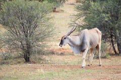 Mannelijke elandantilope Royalty-vrije Stock Foto