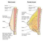 Mannelijke en vrouwelijke borstanatomie Stock Afbeeldingen