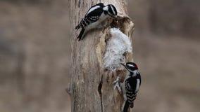 Mannelijke en vrouwelijke Donsachtige spechten die (Picoides pubescens) niervet op een boomstomp eten stock footage