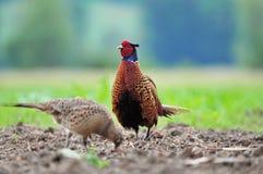 Mannelijke en vrouwelijke fazant Stock Fotografie