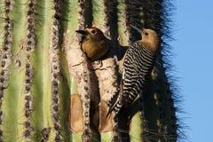 Mannelijke en Vrouwelijke Gila Woodpeckers royalty-vrije stock foto's