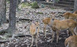 Mannelijke en vrouwelijke herten in de dierentuin Stock Afbeeldingen