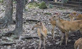 Mannelijke en vrouwelijke herten in de dierentuin Stock Foto's