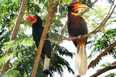 Mannelijke en vrouwelijke Hornbills Royalty-vrije Stock Foto