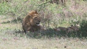 Mannelijke en vrouwelijke leeuw die in de schaduw van een boom op helling van de Ngorongoro-krater rusten stock video