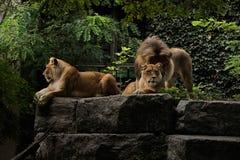 Mannelijke en vrouwelijke leeuwen Stock Fotografie