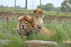 Mannelijke en vrouwelijke leeuwen Stock Afbeeldingen