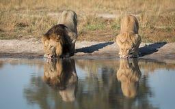 Mannelijke en Vrouwelijke Leeuwen die, Savuti, Botswana drinken Royalty-vrije Stock Afbeelding