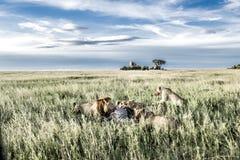 Mannelijke en vrouwelijke leeuwen die zebras in het Nationale Park van Serengeti eten Royalty-vrije Stock Foto's
