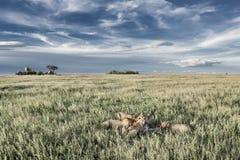 Mannelijke en vrouwelijke leeuwen die zebras in het Nationale Park van Serengeti eten Royalty-vrije Stock Fotografie