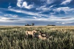 Mannelijke en vrouwelijke leeuwen die zebras in het Nationale Park van Serengeti eten Royalty-vrije Stock Foto