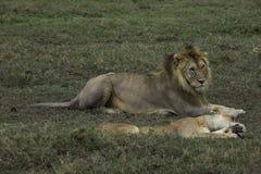 Mannelijke en vrouwelijke Leeuwen in Serengeti Stock Afbeelding