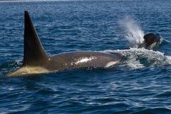 Mannelijke en vrouwelijke orka die in de Zuidpool zwemmen Stock Afbeeldingen