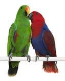Mannelijke en Vrouwelijke Papegaaien Eclectus Royalty-vrije Stock Afbeeldingen