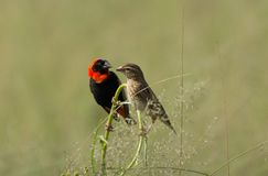 Mannelijke en Vrouwelijke Rode Bischop Birds op toppositie Stock Fotografie