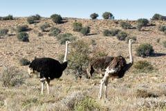 Mannelijke en Vrouwelijke Struisvogel bij het Berg Gestreepte Nationale Park Stock Afbeelding