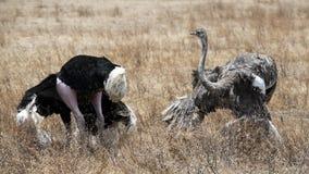 Mannelijke en Vrouwelijke Struisvogel in het koppelen dans stock fotografie