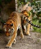 Mannelijke en vrouwelijke tijgers royalty-vrije stock afbeelding